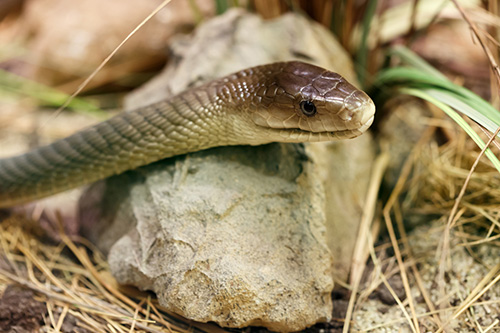 Ibis Projects/ Durban Pest Control Services | Snakes