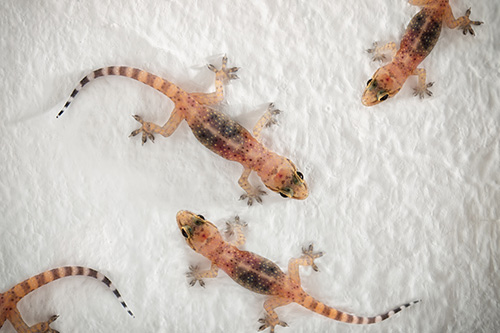 Ibis Projects/ Durban Pest Control Services | Geckos + Small Reptiles